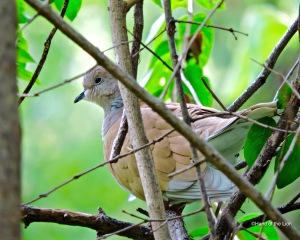 Ringed Turtle Dove #1