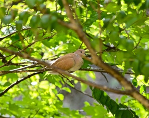 Ringed Turtle Dove #2
